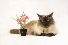Χαριτωμένο εύθυμο μπλε eyed σιαμέζο γατάκι δίπλα στα σε δοχείο λουλούδια άνοιξη Υιοθετήστε ένα κατοικίδιο ζώο, έννοια στοκ εικόνες