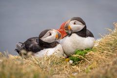 Χαριτωμένο ζεύγος ατλαντικού Puffins Στοκ Φωτογραφία