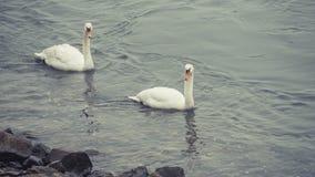 Χαριτωμένο ζεύγος του Κύκνου στον ποταμό του Ρήνου στη Βόννη στοκ εικόνες