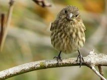 Χαριτωμένο θηλυκό Finch σπιτιών που κοιτάζει ενώ σκαρφαλώνει σε έναν κλάδο στοκ φωτογραφία