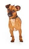 Χαριτωμένο διαγώνιο σκυλί Chihuahua με Underbite Στοκ εικόνες με δικαίωμα ελεύθερης χρήσης