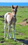 Χαριτωμένο ισλανδικό pinto foal στοκ φωτογραφία με δικαίωμα ελεύθερης χρήσης