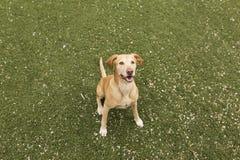 Χαριτωμένο κίτρινο σκυλί που στέκεται στη χλόη Πράσινη ανασκόπηση Στοκ Εικόνες
