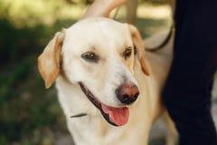 Χαριτωμένο κίτρινο σκυλί του Λαμπραντόρ από το καταφύγιο που θέτει το εξωτερικό στο ηλιόλουστο PA Στοκ Εικόνες