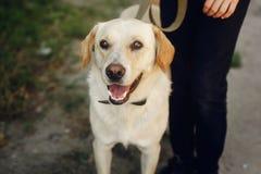 Χαριτωμένο κίτρινο σκυλί του Λαμπραντόρ από το καταφύγιο που θέτει το εξωτερικό στο ηλιόλουστο PA Στοκ φωτογραφία με δικαίωμα ελεύθερης χρήσης