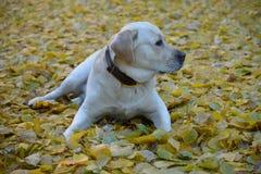 Χαριτωμένο κίτρινο σκυλί του Λαμπραντόρ Στοκ Φωτογραφία