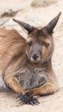 Χαριτωμένο καγκουρό ύπνου, Αυστραλία στοκ εικόνες