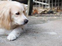 Χαριτωμένο καλό άσπρο μακρυμάλλες όμορφο νέο σκυλί διασταύρωσης Στοκ Εικόνες