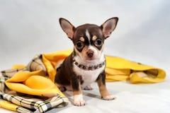 Χαριτωμένο καφετί κουτάβι Chihuahua κοντός-τρίχας Στοκ εικόνα με δικαίωμα ελεύθερης χρήσης