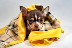 Χαριτωμένο καφετί κουτάβι Chihuahua κοντός-τρίχας Στοκ φωτογραφίες με δικαίωμα ελεύθερης χρήσης