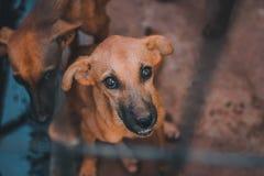 Χαριτωμένο καφετί σκυλί που εξετάζει εσείς Στοκ Φωτογραφία