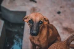Χαριτωμένο καφετί σκυλί που εξετάζει εσείς Στοκ φωτογραφία με δικαίωμα ελεύθερης χρήσης