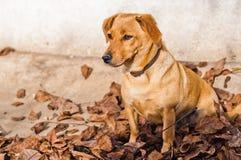 Χαριτωμένο καφετί σκυλί που βρίσκεται στα ξηρά φύλλα στο έδαφος το φθινόπωρο Στοκ Εικόνες