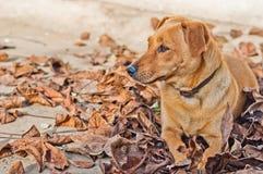 Χαριτωμένο καφετί σκυλί που βρίσκεται στα ξηρά φύλλα στο έδαφος το φθινόπωρο Στοκ Φωτογραφίες