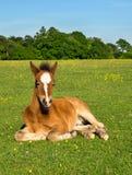 Χαριτωμένο καφετί Foal Στοκ Εικόνες