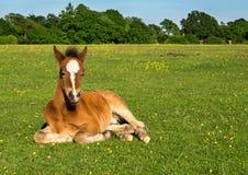Χαριτωμένο καφετί Foal Στοκ φωτογραφία με δικαίωμα ελεύθερης χρήσης