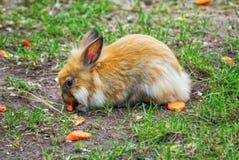 Χαριτωμένο κουνέλι πιπεροριζών που τρώει το καρότο Στοκ Φωτογραφία