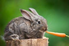 χαριτωμένο κουνέλι μωρών Ταΐζοντας ζώο Στοκ Εικόνες