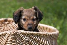 χαριτωμένο κουτάβι σκυλ& Στοκ Φωτογραφία
