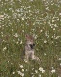 Χαριτωμένο κουτάβι λύκων Στοκ φωτογραφία με δικαίωμα ελεύθερης χρήσης