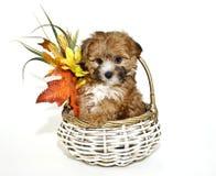 χαριτωμένο κουτάβι poo yorkie στοκ φωτογραφία με δικαίωμα ελεύθερης χρήσης