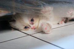 Χαριτωμένο κρύψιμο έκφρασης γατακιών Στοκ Εικόνες