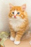 Χαριτωμένο κόκκινο γατάκι με τα μπλε μάτια Στοκ φωτογραφίες με δικαίωμα ελεύθερης χρήσης
