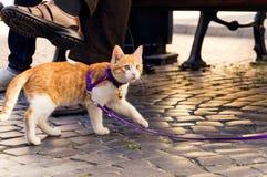 Χαριτωμένο κόκκινο γατάκι σε ένα λουρί Στοκ Εικόνες