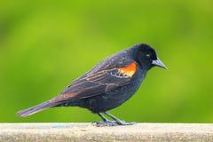 Χαριτωμένο κόκκινο φτερωτό μαύρο πουλί Στοκ Εικόνες