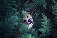 Χαριτωμένο κόκκινο corgi σκυλιών κουταβιών σε έναν περίπατο στο θερινό πάρκο έκρυψε στα παχιά αλσύλλια των φύλλων φτερών και τιτι στοκ φωτογραφία
