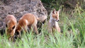 Χαριτωμένο κόκκινο cub αλεπούδων παιχνίδι κοντά στο λαγούμι Vulpes φιλμ μικρού μήκους