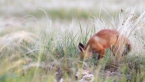Χαριτωμένο κόκκινο cub αλεπούδων σκάψιμο στη χλόη Vulpes απόθεμα βίντεο