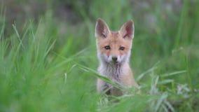 Χαριτωμένο κόκκινο cub αλεπούδων στέκεται στη χλόη και εξετάζει τη κάμερα Vulpes φιλμ μικρού μήκους