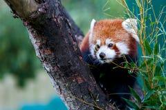 χαριτωμένο κόκκινο panda Στοκ φωτογραφία με δικαίωμα ελεύθερης χρήσης