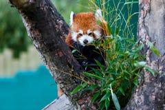 χαριτωμένο κόκκινο panda Στοκ Φωτογραφίες