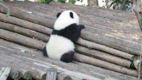 Χαριτωμένο λίγο cub panda μαθαίνει να αναρριχείται επάνω, Κίνα φιλμ μικρού μήκους