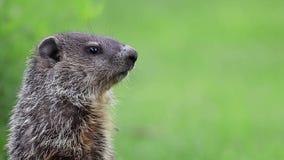 Χαριτωμένο λίγο groundhog στην πράσινη χλόη γυρίζει επικεφαλής τρεις φορές το δωμάτιο για το αντίγραφο κειμένων απόθεμα βίντεο