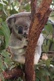 Χαριτωμένο λίγο koala αντέχει πίσω από το δέντρο Στοκ Φωτογραφίες