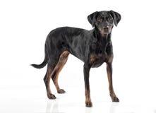 Χαριτωμένο μαύρο και σκυλί μαυρίσματος που στέκεται αντιμετωπίζοντας τη κάμερα Στοκ Φωτογραφίες