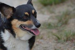 Χαριτωμένο μαύρο και σκυλί της Tan Corgi Στοκ Εικόνες