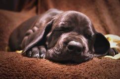 Χαριτωμένο μαύρο κουτάβι σκυλιών Στοκ φωτογραφίες με δικαίωμα ελεύθερης χρήσης