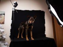 Χαριτωμένο μαύρο κόκκινο σκυλί Στοκ φωτογραφίες με δικαίωμα ελεύθερης χρήσης