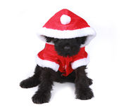 Χαριτωμένο μαύρο ρωσικό κουτάβι Santa τεριέ στην άσπρη ανασκόπηση Στοκ Εικόνες