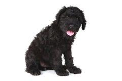 Χαριτωμένο μαύρο ρωσικό σκυλί κουταβιών τεριέ Στοκ Εικόνα