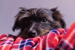 Χαριτωμένο μαύρο σκυλί σε ένα κόκκινο και μπλε κάλυμμα στοκ εικόνες