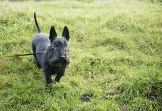 Χαριτωμένο μαύρο σκωτσέζικο σκυλί τεριέ στην πράσινη χλόη Στοκ Εικόνες