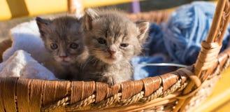 Χαριτωμένο μικρό γατάκι δύο σε ένα καλάθι με τα νήματα για το πλέξιμο Στοκ Εικόνες