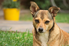 Χαριτωμένο μικρό καφετί σκυλί υπαίθριο Στοκ Φωτογραφίες