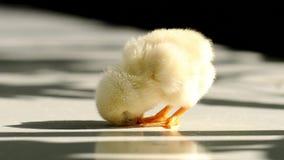 Χαριτωμένο μικρό κοτόπουλο φιλμ μικρού μήκους