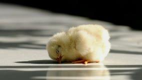 Χαριτωμένο μικρό κοτόπουλο απόθεμα βίντεο
